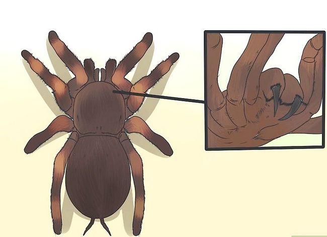 Prent getiteld Identifiseer `n Tarantula Spider Stap 6