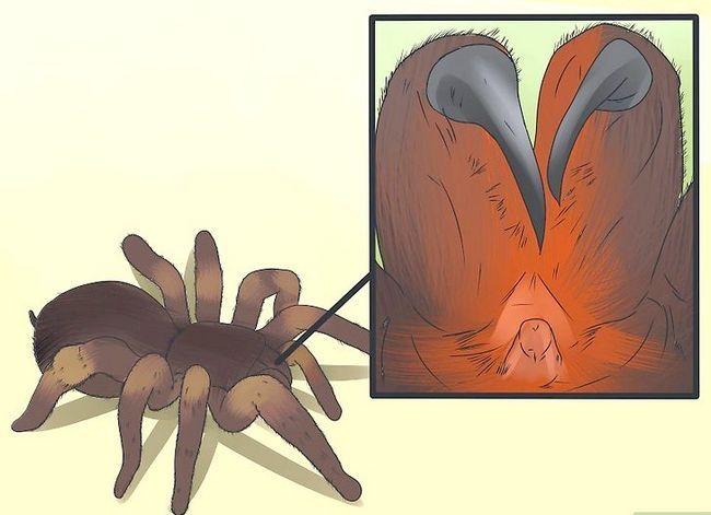 Prent getiteld Identifiseer `n Tarantula Spider Stap 7