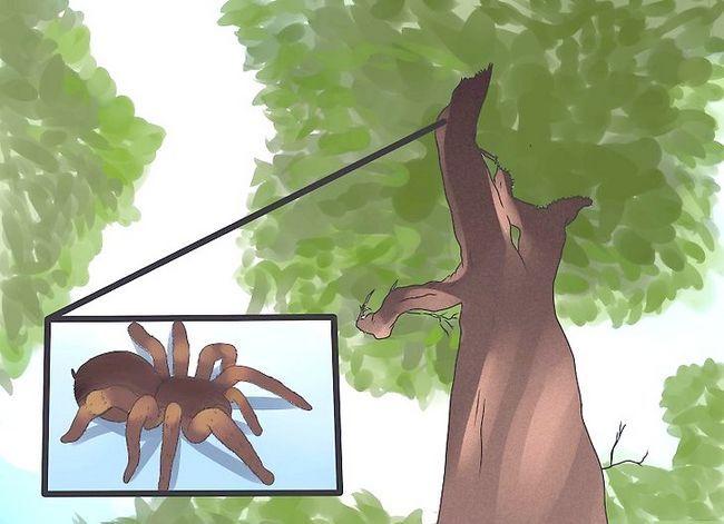 Prent getiteld Identifiseer `n Tarantula Spider Stap 8