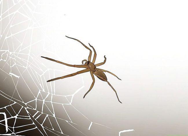 Prent getiteld Identifiseer die mees algemene Noord-Amerikaanse Spider Soort Stap 2