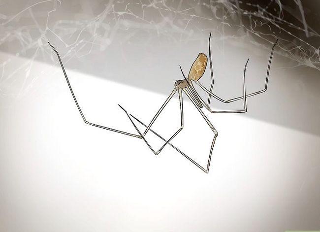 Prent getiteld Identifiseer die mees algemene Noord-Amerikaanse Spider Soort Stap 4