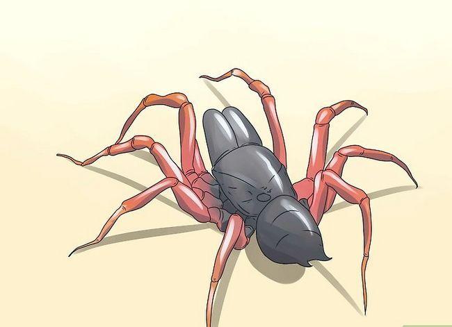 Prent getiteld Identifiseer `n Purse Web Spider Stap 2