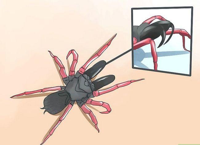 Prent getiteld Identifiseer `n Purse Web Spider Stap 3