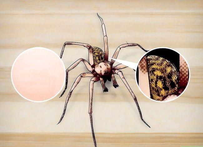 Prent getiteld Identifiseer `n Hobo Spider Stap 1