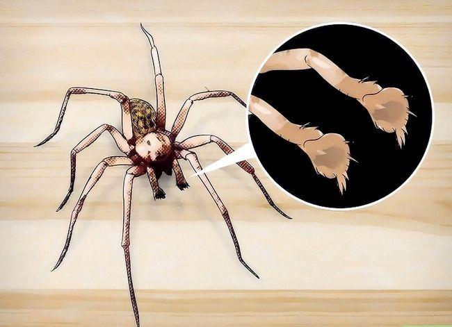 Prent getiteld Identifiseer `n Hobo Spider Stap 3