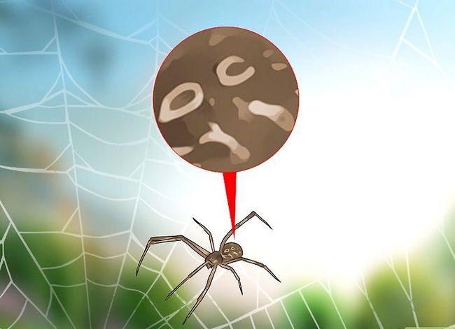 Prent getiteld Identifiseer `n Black Widow Spider Step 3