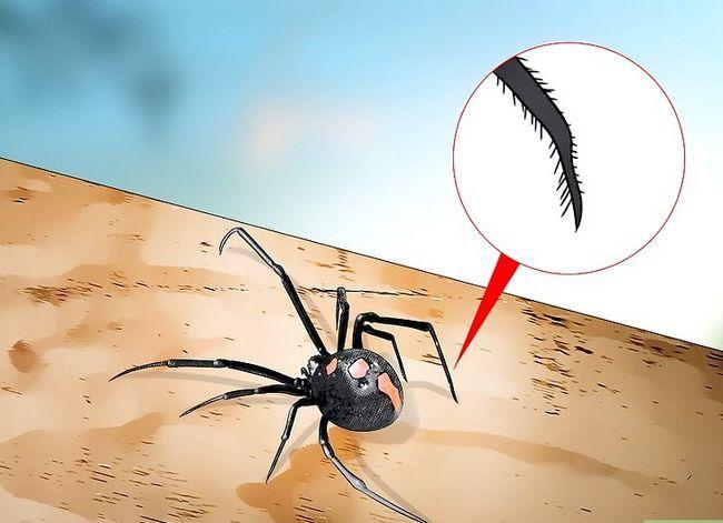 Prent getiteld Identifiseer `n Black Widow Spider Stap 4