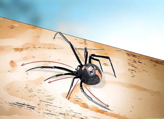 Prent getiteld Identifiseer `n Black Widow Spider Stap 5