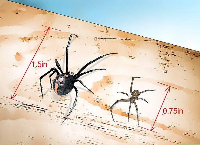 Prent getiteld Identifiseer `n Black Widow Spider Stap 6