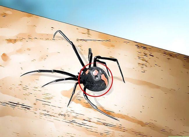 Prent getiteld Identifiseer `n Black Widow Spider Step 7