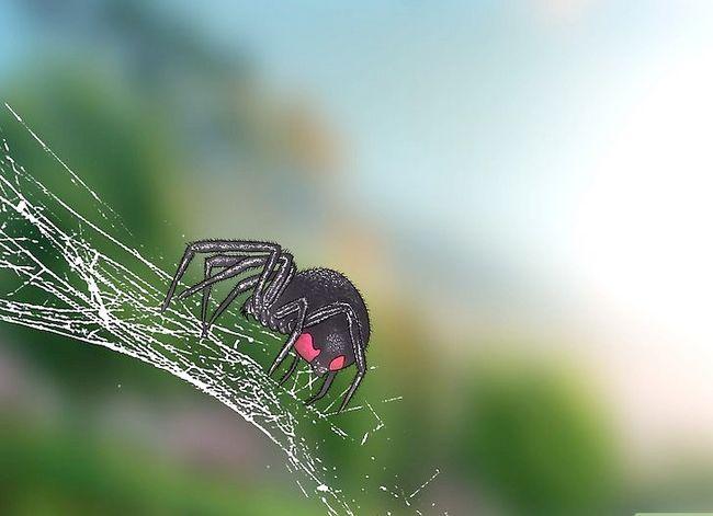 Prent getiteld Identifiseer `n Black Widow Spider Step 8