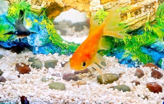 Prent getiteld Hou `n Goldfish Alive Stap 3