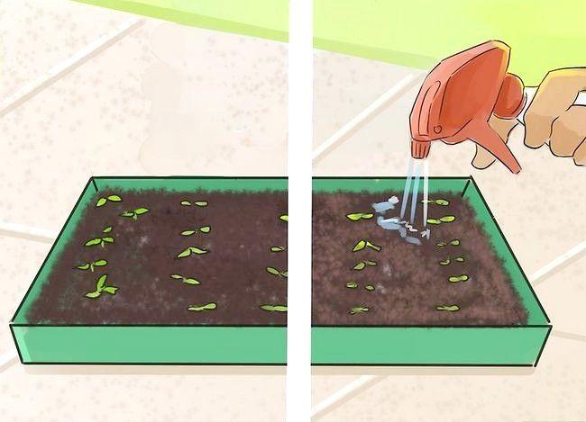 Prent getiteld Plant Angel Trompet Seeds Stap 9