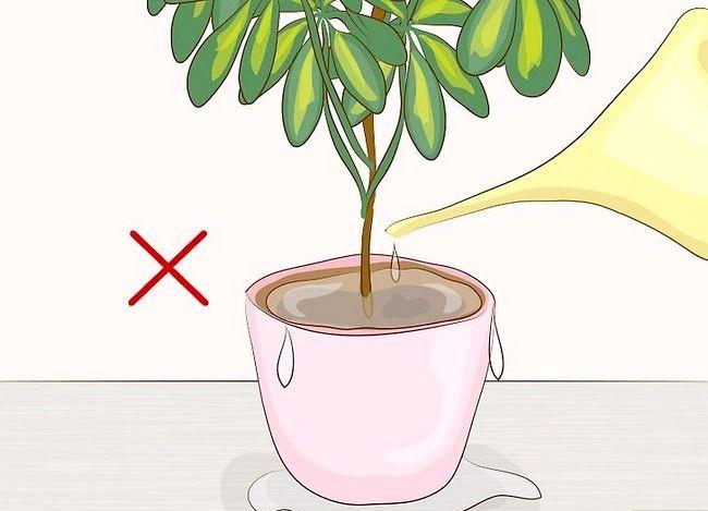 Prentjie Prune Huisplante Stap 11