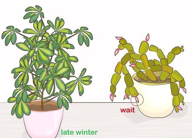 Prentjie Prune Huisplante Stap 2