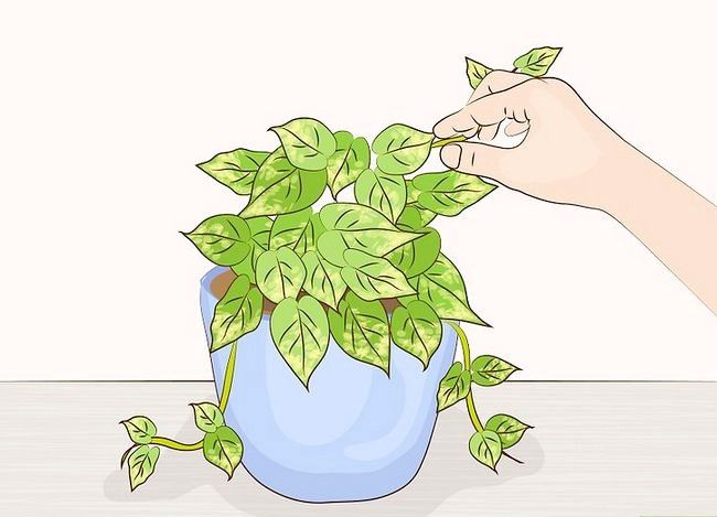 Prentjie Prune Huisplante Stap 7