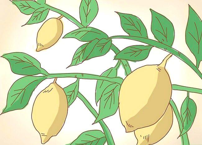 Prent getiteld Prune a Lemon Tree Stap 1