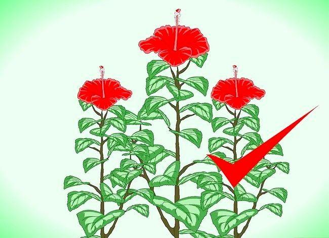 Hoe om hibiskus te propageer