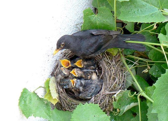 Prent getiteld Turdus_merula_ _nest_with_youngs