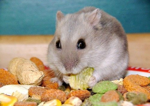 Prent getiteld Russiese dwerghamster eet