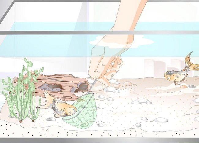 Prent getiteld Laer Ammoniak Vlakke in `n Vistenk as hulle nie baie hoog is nie. Stap 2