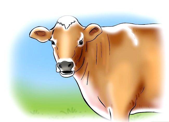 Hoe om te weet wanneer `n koei of vers in hitte is
