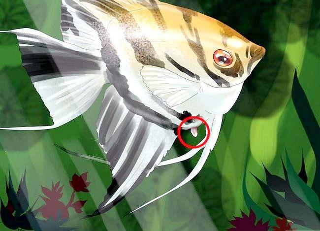 Prent getiteld Vertel die geslag van `n Angelfish Stap 2