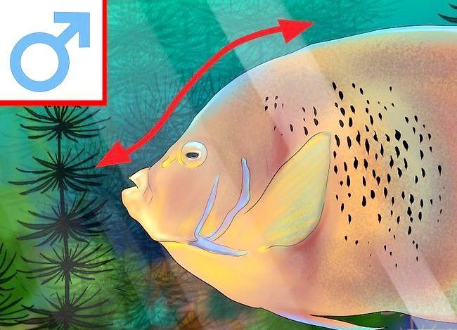 Prent getiteld Vertel die Geslag van `n Angelfish Stap 4