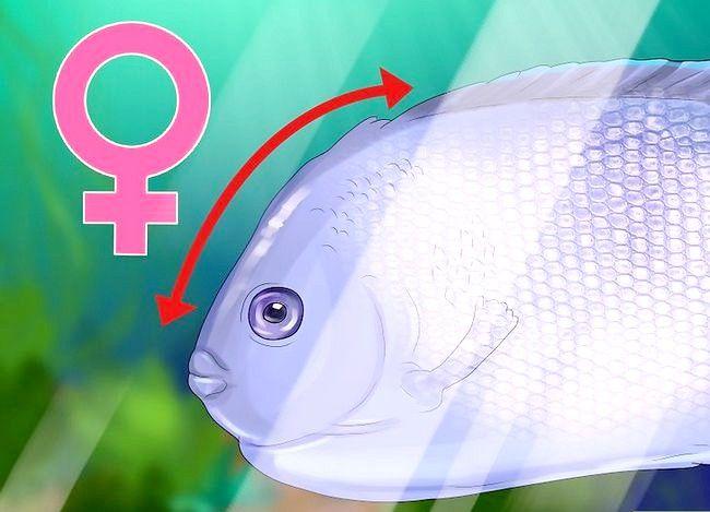 Prent getiteld Vertel die Geslag van `n Angelfish Stap 5