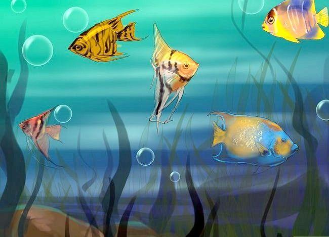 Prent getiteld Vertel die Geslag van `n Angelfish Stap 7