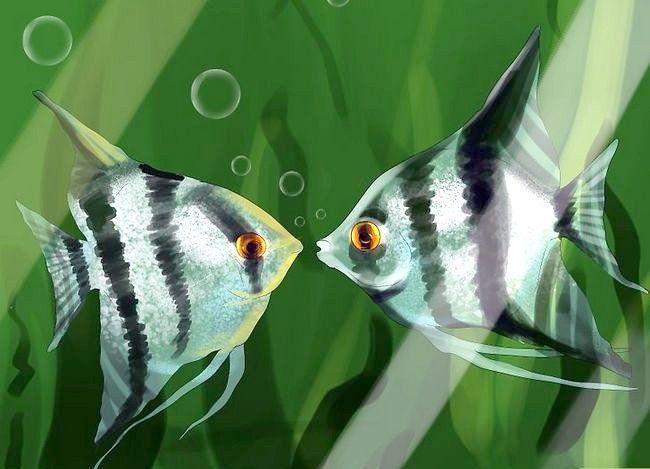 Prent getiteld Vertel die Geslag van `n Angelfish Stap 8