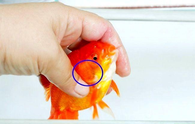 Prent getiteld Sê of jou goudvis `n volwasse stap is 6