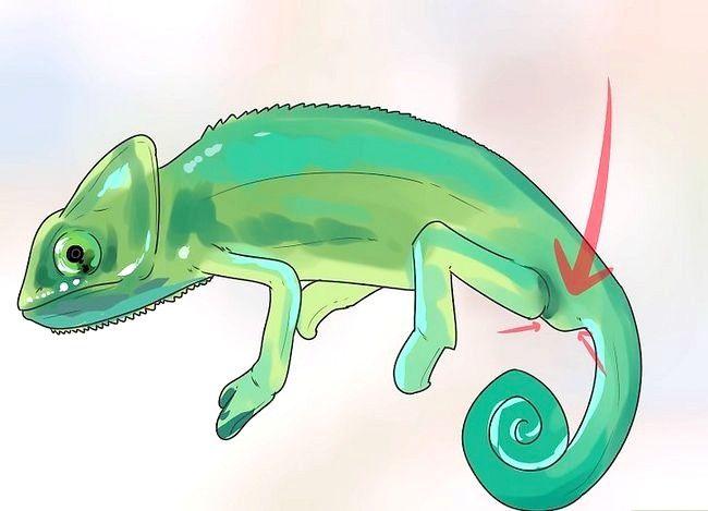 Prent getiteld Vertel of `n kameleon man of vrou is Stap 1