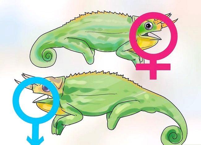Prent getiteld Sê of `n kameleon man of vrou is Stap 7