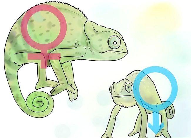 Prent getiteld Sê of `n kameleon man of vrou is Stap 10