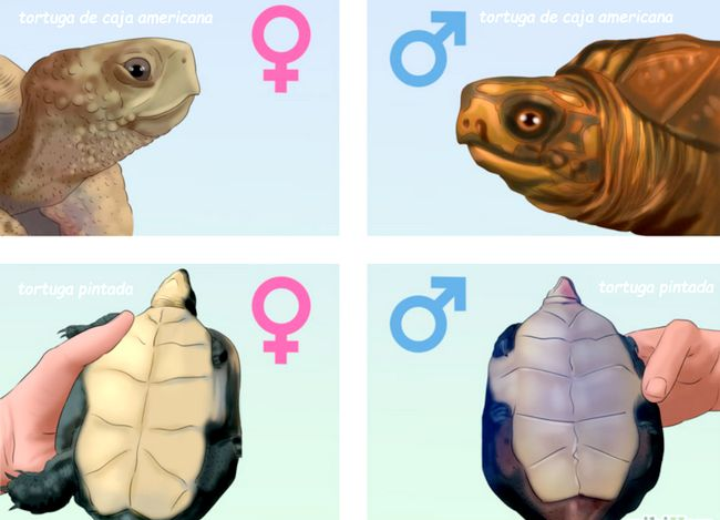 Prent getiteld Tell_if_a_Turtle_Is_Male_or_Female_Step_4