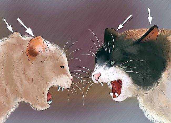 Prent getiteld Weet of Katte speel Stap 2 of veg