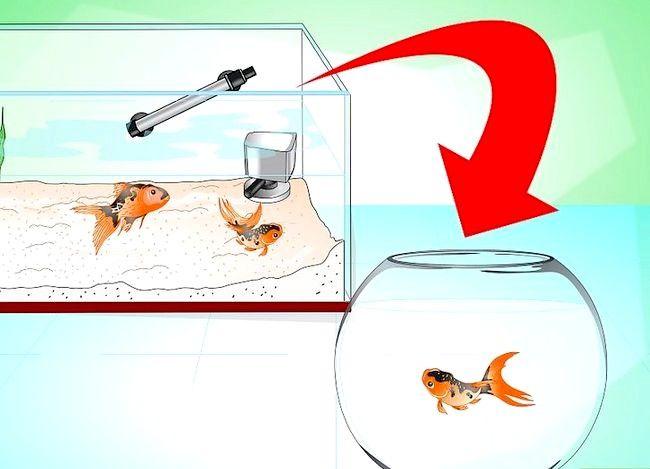 Prent getiteld Stoor `n sterwende goudvis Stap 17