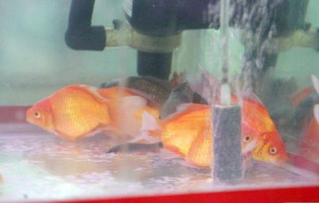 Prent getiteld Het `n gesonde, gelukkige akwarium Stap 1