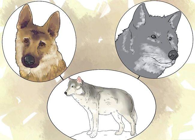 Prent getiteld Eie `n troeteldier Wolf Stap 1