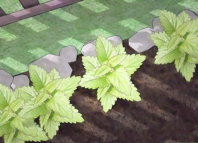 Prent getiteld Gebruik plante om muskiete weg te hou Stap 2