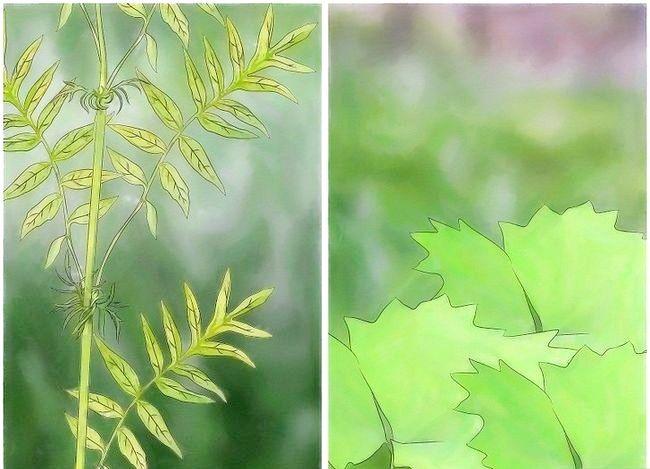Prent getiteld Gebruik plante om muskiete weg te hou Stap 8